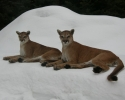 cougar-007