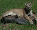 herbs-cougar-010