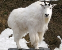 jesss-goat-006