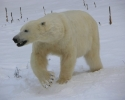 polar-bear-3-010