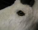 repaired-goat-001