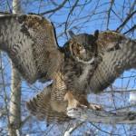 gh owl 002