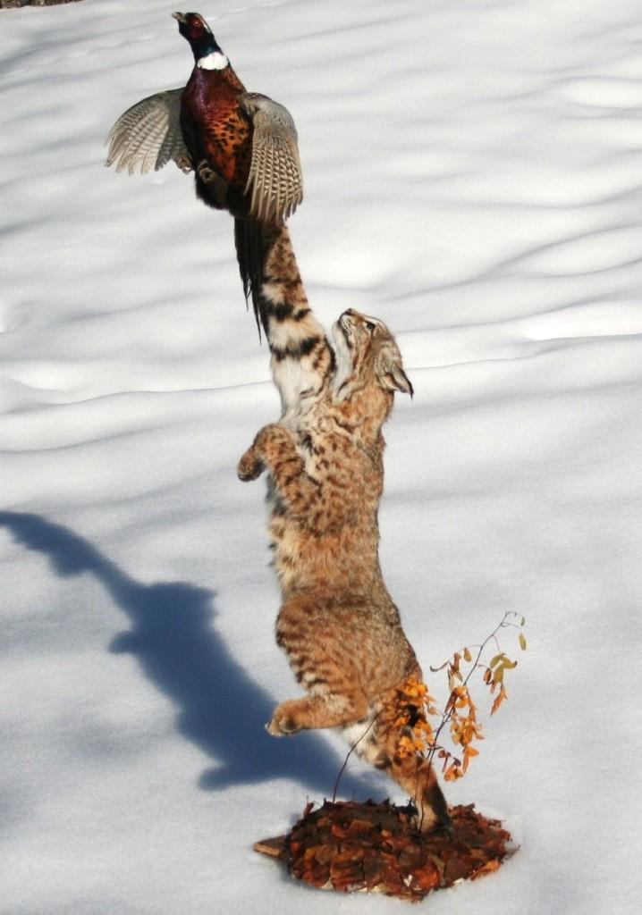bcat-pheasant 017